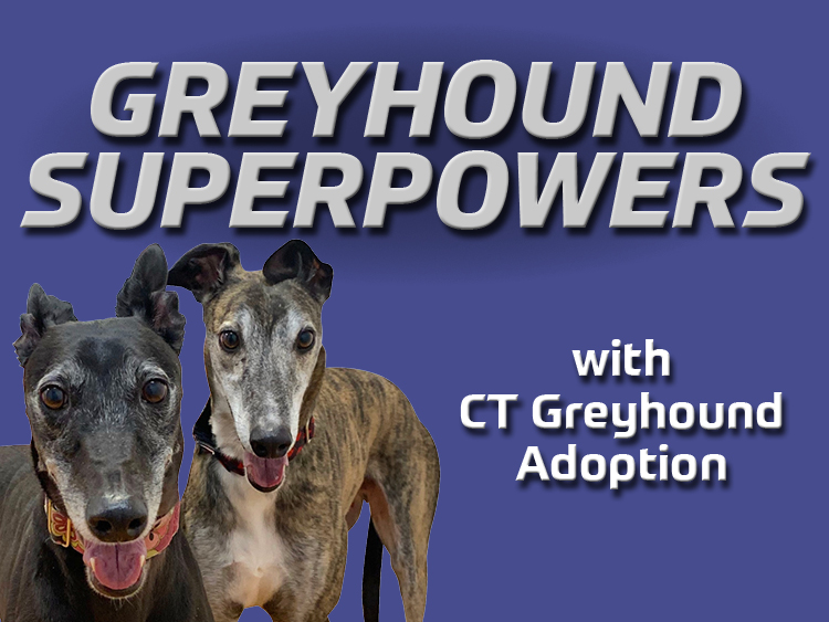 Greyhound Superpowers with Connecticut Greyhound Adoption