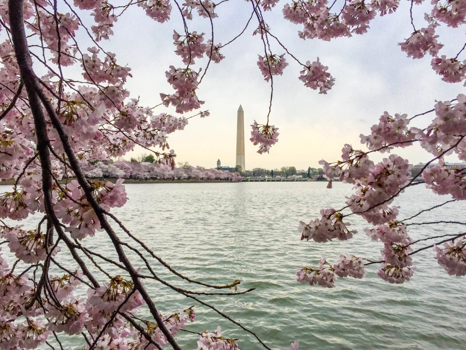 Virtual Field Trip: National Cherry Blossom Festival & Smithsonian National Museum of Natural History, Washington, DC