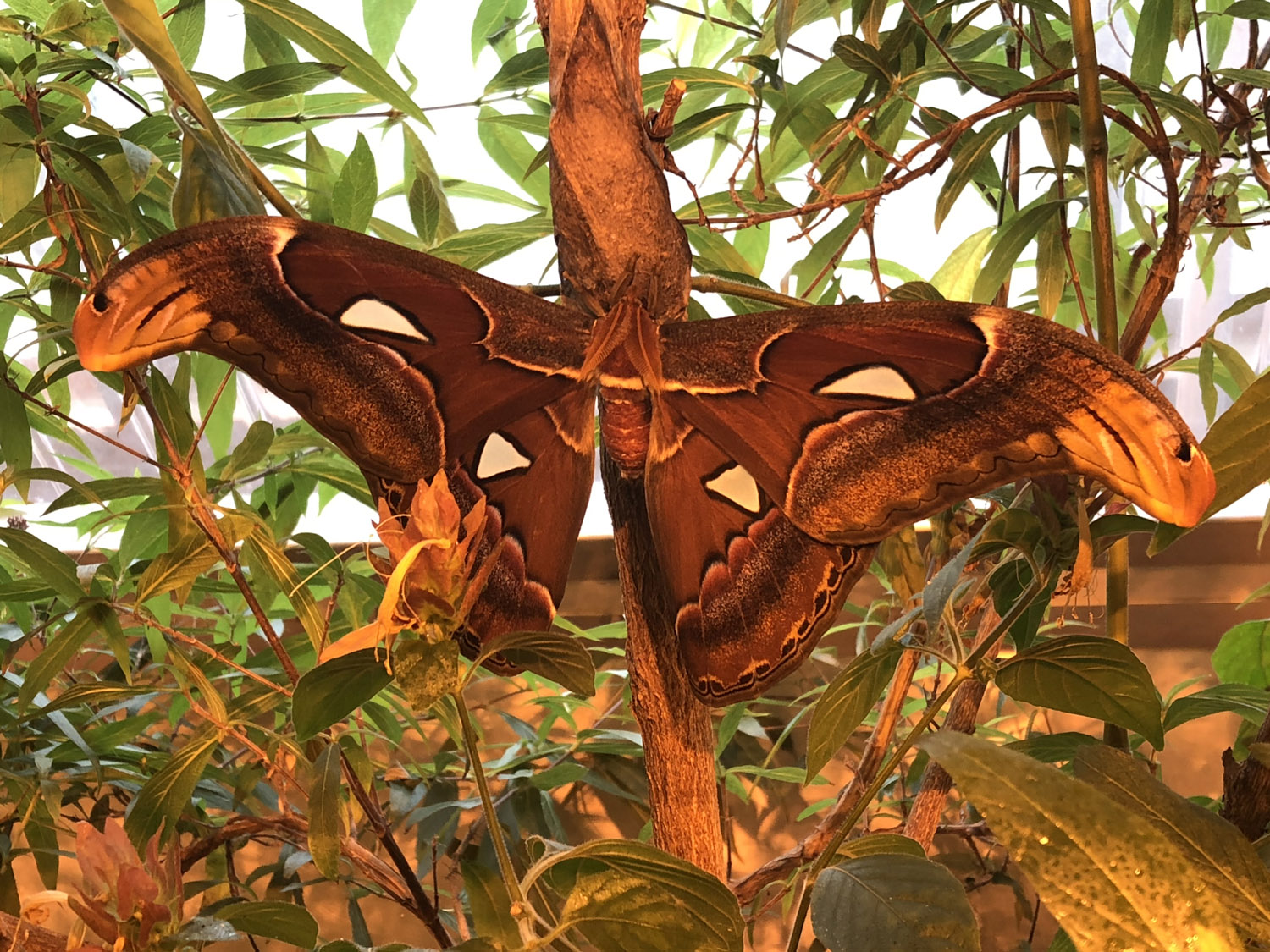 What's New In the Butterfly Encounter? Exploring the Atlas Moth